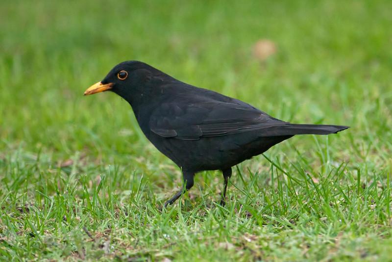 Blackbird - male 02 - Auckland, NZ