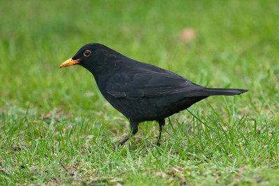 Blackbird - male 02 - Auckland, NZ