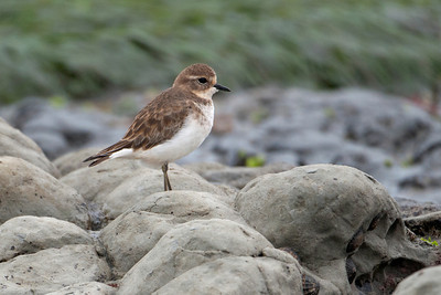 Plover - Double-banded (Banded Dotterel) - 02 - Kaikoura, NZ