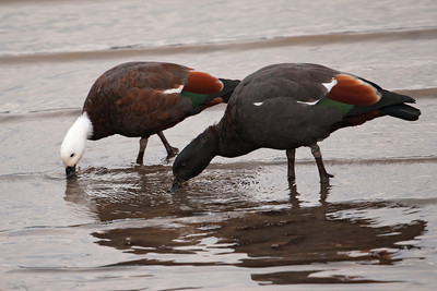 Shelduck - male and female - Portobella, NZ