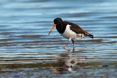 Oystercatcher - South Island (Pied Oystercatcher) - Portobella, NZ