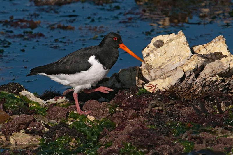 Oystercatcher - South Island (Pied) - Kaikoura, NZ