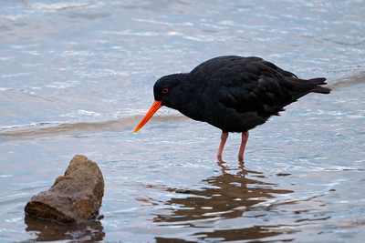 Oystercatcher - Variable - Portobella, NZ
