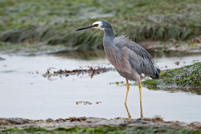 Egret - White-faced (White-faced Heron) -  Kaikoura, NZ