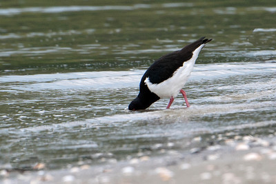 Oystercatcher - South Island (Pied Oystercatcher) - Otago Bay, NZ