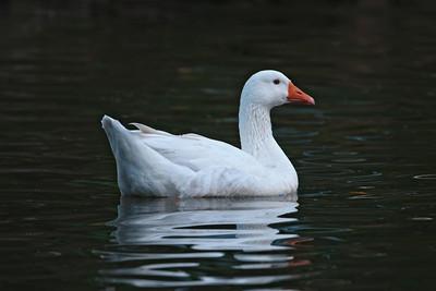 Goose - Feral - Auckland, NZ