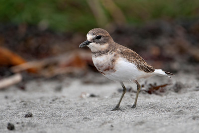 Plover - Double-banded (Banded Dotterel) - 01 - Kaikoura, NZ
