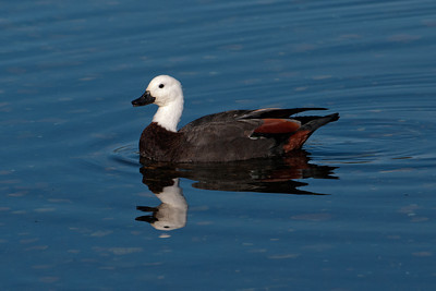 Shelduck - Paradise - female - Otago Bay, NZ