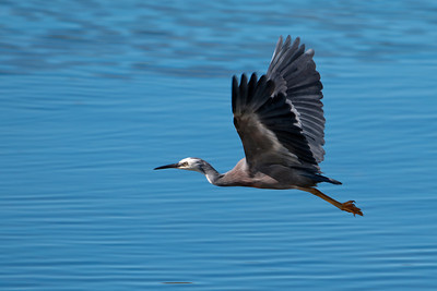 Egret - White-faced (White-faced Heron) - Otago Bay, NZ