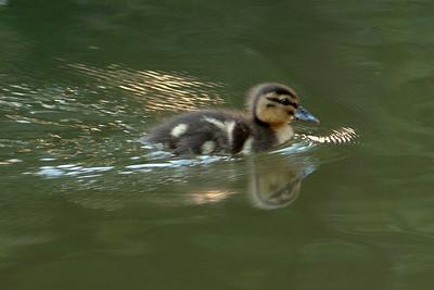 Duckling - Auckland, NZ