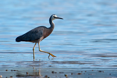 Egret - White-faced (White-faced Heron) - Portobella, NZ
