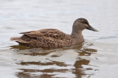Duck - Pacific Black (Grey Duck) - Lake Pearson - Albert's Pass, NZ