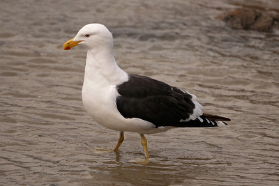 Gull - Kelp (Black-backed Gull) - 02 - Wellington, NZ
