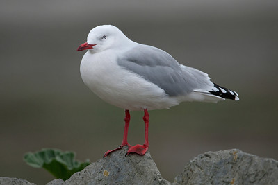 Gull - Red-billed - 01 - Kaikoura, NZ