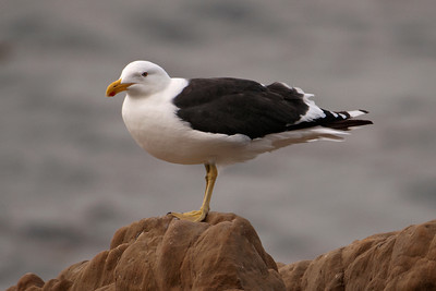 Gull - Kelp (Black-backed Gull) - 01 - Wellington, NZ