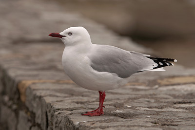Gull - Red-billed - 02 - Kaikoura, NZ