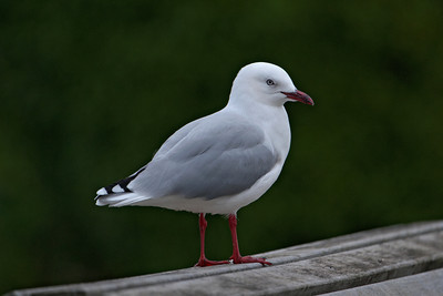 Gull - Red-billed - Portobella, NZ