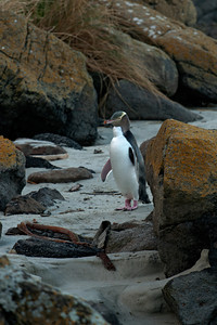 Penguin - Yellow-eyed - 03 - Otago Bay, - New Zealand