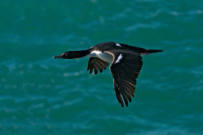 Shag  -Bronze (Stewart Island Shag) - Albatross Centre - Otago Bay, NZ