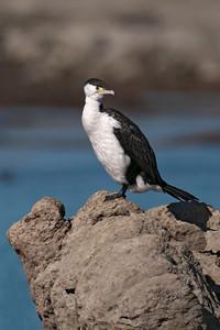Cormorant - Pied (Pied Shag) - 01 - Kaikoura, NZ