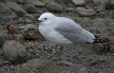 Gull - Red-billed - juvenile - 01 - Kaikoura, NZ