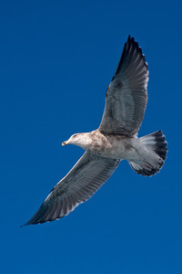 Gull - Kelp (Black-backed Gull) - 2nd year - Albatross Encounter pelagic trip - Kaikoura, NZ