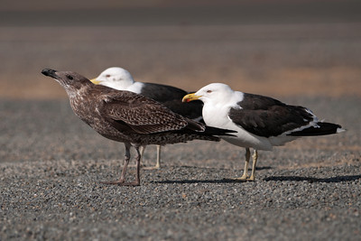 Gull - Kelp (Black-backed Gull) - adult and juvenile - Wellington, NZ