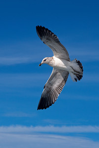 Gull - Kelp (Black-backed Gull) - 3rd year - Albatross Encounter pelagic trip - Kaikoura, NZ