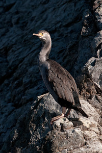 Shag - Spotted - Albatross Encounter pelagic trip - Kaikoura, NZ