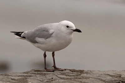Gull - Red-billed - juvenile - 02 - Kaikoura, NZ