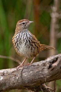 New Zealand Fernbird - 02 - Orokonui Ecosanctuary - Dunedin, NZ