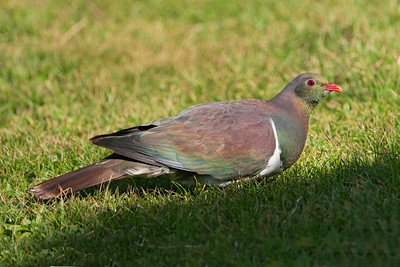 New Zealand Fruit Pigeon - 01 - Kapiti Island, NZ