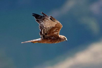 Swamp Marsh Harrier - adult - 02 - (Australasian Harrier) - Otago Peninsula, NZ
