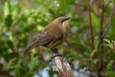 Bellbird - female - Kapiti Island, NZ