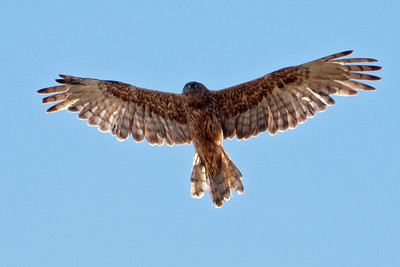 Swamp Marsh Harrier - adult - 01 - (Australasian Harrier) - Otago Peninsula, NZ