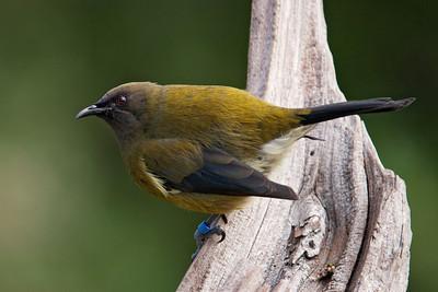 Bellbird - male - Tiri tiri Matangi Island, NZ