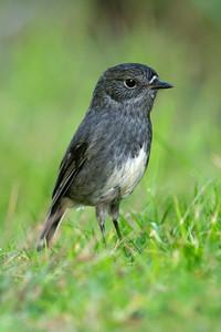 New Zealand Robin - 02 - Kapiti Island, NZ