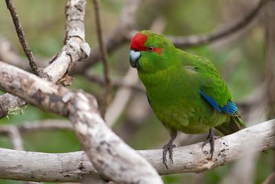 Red-fronted Parakeet - (Red-crowned) - Tiri tiri Matangi Island, NZ