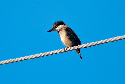 Sacred Kingfisher - NZ Marine Studies Centre - Portobello, NZ