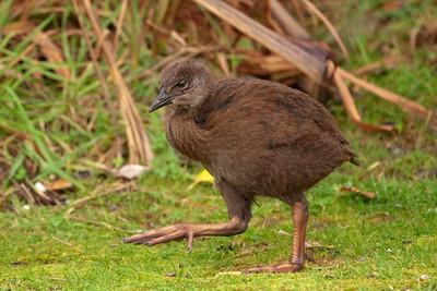 Weka chick - 02 - Pancake Rocks - Punakaiki, NZ