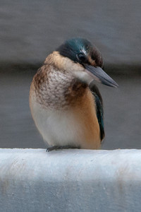 Sacred Kingfisher - Coopers Inlet - Otago Bay, NZ