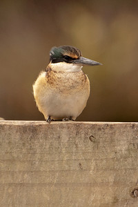 Sacred Kingfisher - juvenile - Miranda Shorebird Center, NZ