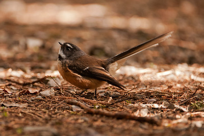 New Zealand Fantail - 01- Orokonui Ecosanctuary - Dunedin, NZ