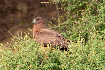 Swamp Marsh Harrier - juvenile - (Australasian Harrier) - Otago Peninsula, NZ