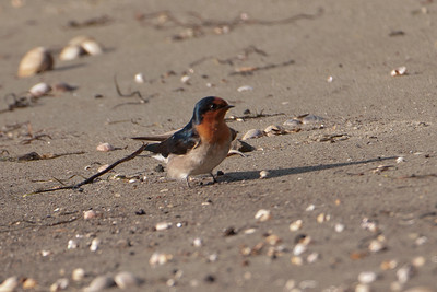 Welcome Swallow - Otago Bay, NZ