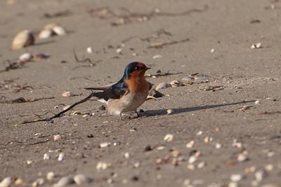 Welcome Swallow - Otago Bay, NZ