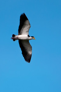 Masked Lapwing - (Spur-winged Plover) - flight - Oro konui Ecosanctuary, Dunedin, NZ