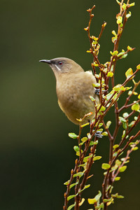 Bellbird - female - Arthur's Pass, NZ