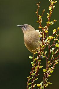 Bellbird - female - Arthur's Pass, NZ