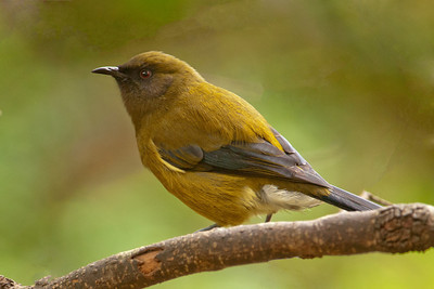 Bellbird - male - Orokonui Ecosanctuary - Dunedin, NZ